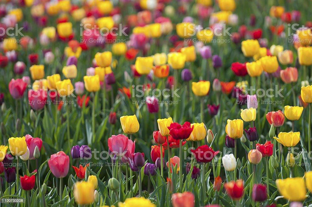 Rainbow Tulips stock photo