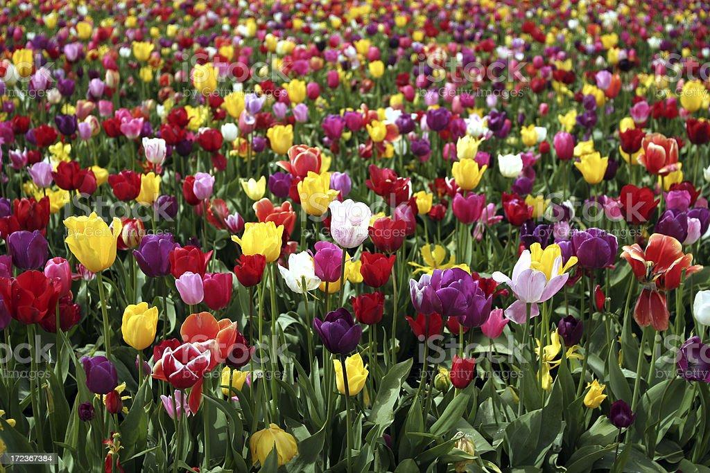 Rainbow Tulips royalty-free stock photo