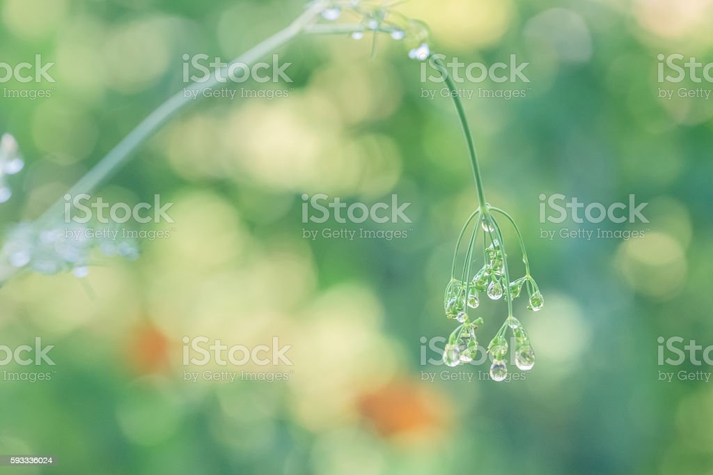 Raindrops Clinging To Dill Plant In Summer Garden Bokeh Background stock photo