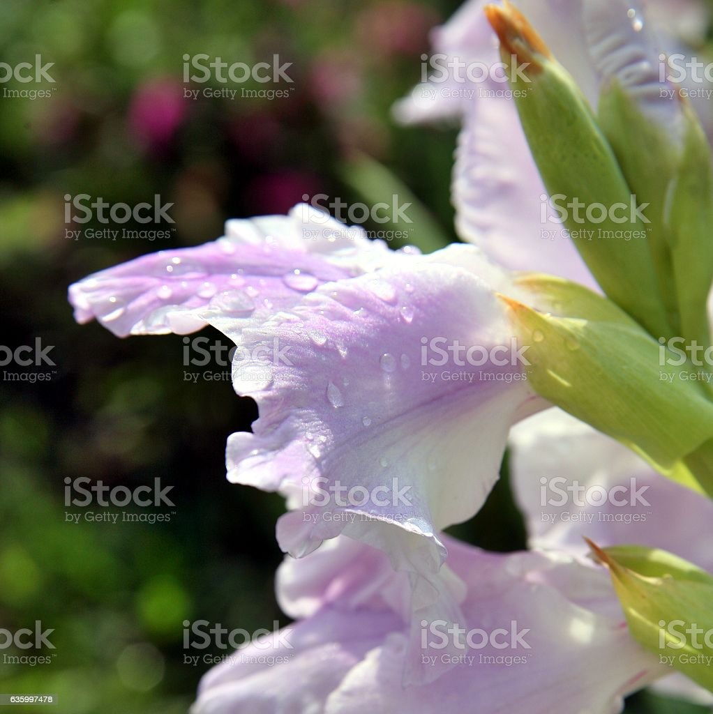 raindrops on a pink gladiolus. Selekted focus. stock photo
