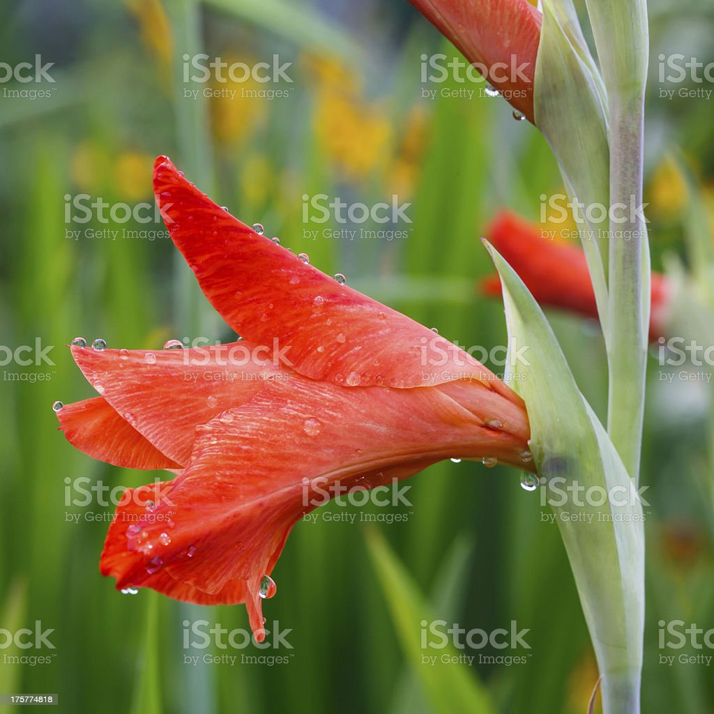 Raindrops on a red gladiolus flower closeup royalty-free stock photo