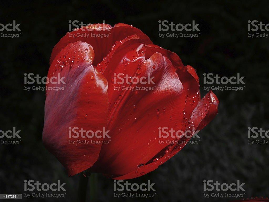 Raindrops on a tulip bulb stock photo