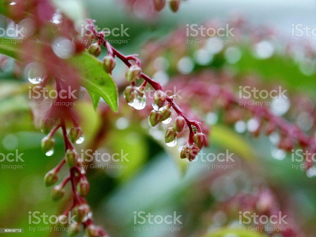 raindrops on buds royalty-free stock photo