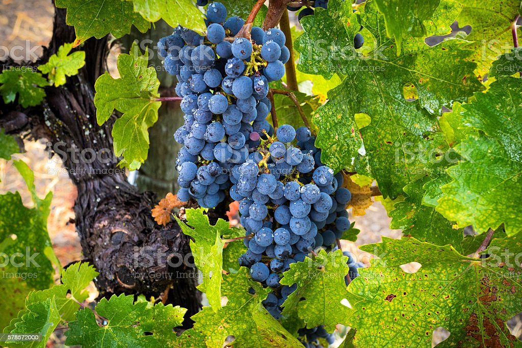 Raindrops on Cabernet Sauvignon grapes and leaves in California vineyard stock photo