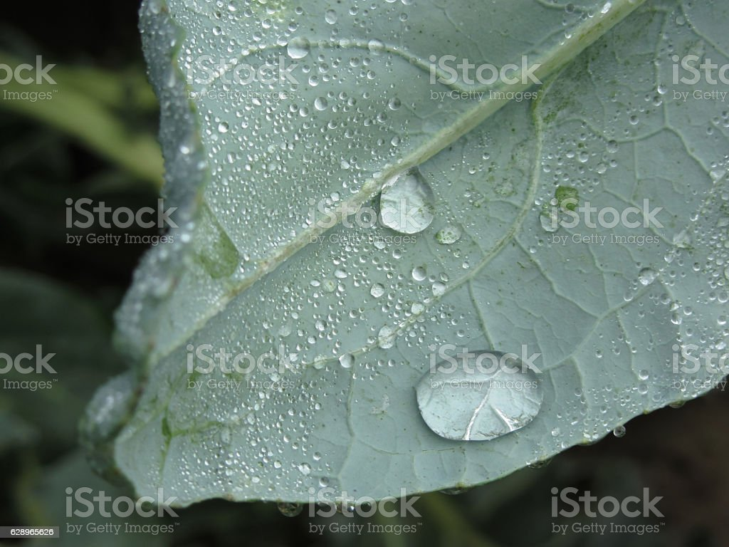 Raindrops on cauliflower leaves stock photo