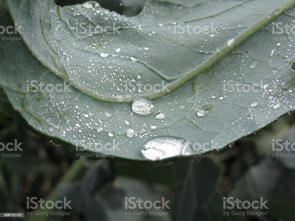 Raindrops on cauliflower leaves . stock photo