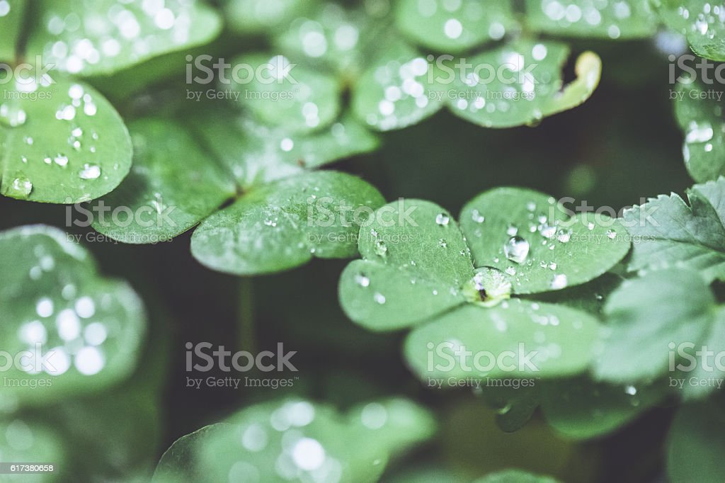 Raindrops on Cleaver grass stock photo