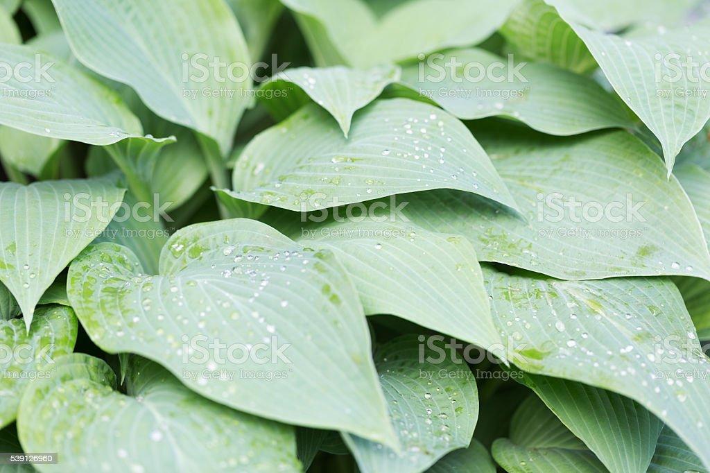 Raindrops on Hosta Leaves stock photo