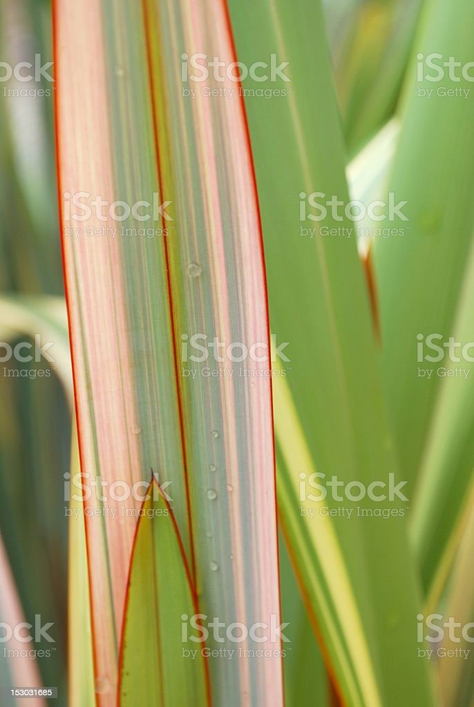 Raindrops on New Zealand Flax stock photo