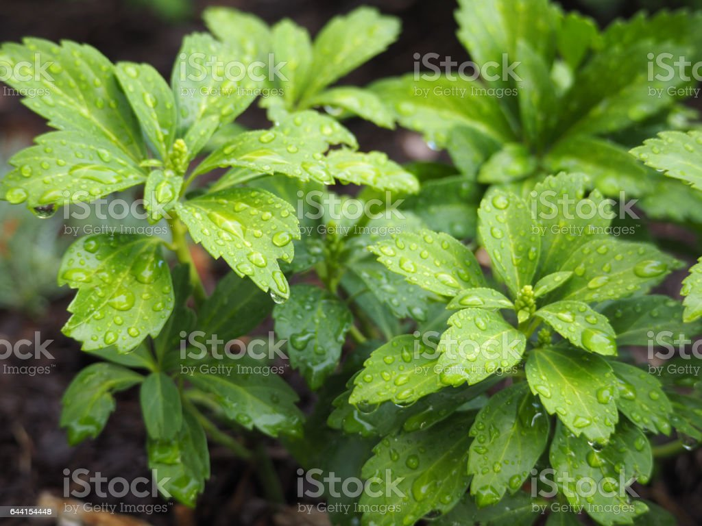 Raindrops on Pachysandra stock photo