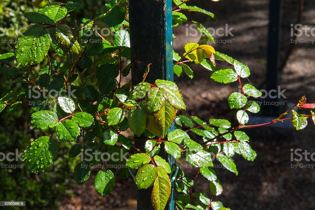 raindrops on the leaves of the rose-bush stock photo