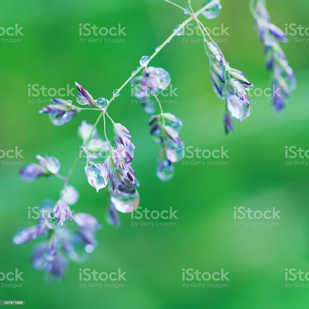 Raindrops on wildflower stock photo