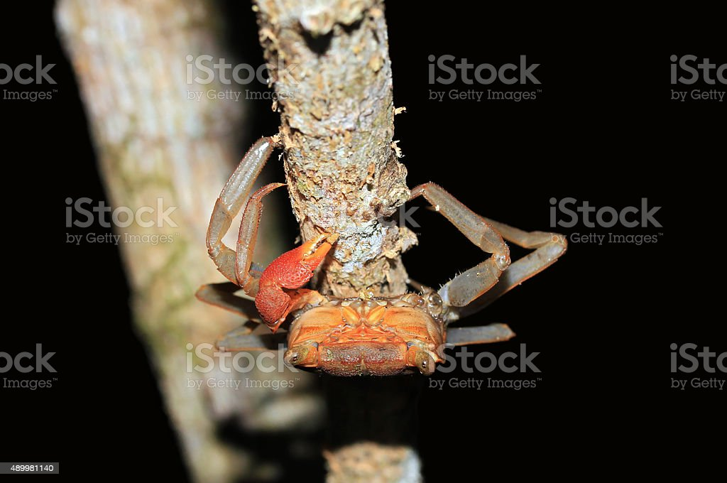 Rainforest Canopy Crab stock photo