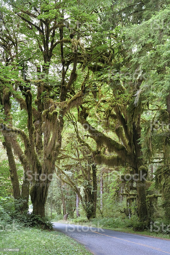 Rainforest in Olympic National Park royalty-free stock photo