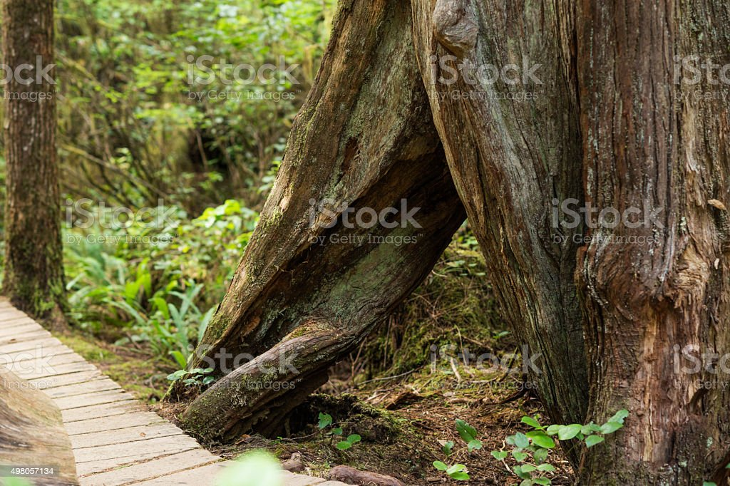 Rainforest Trail in Pacific Rim National Park stock photo