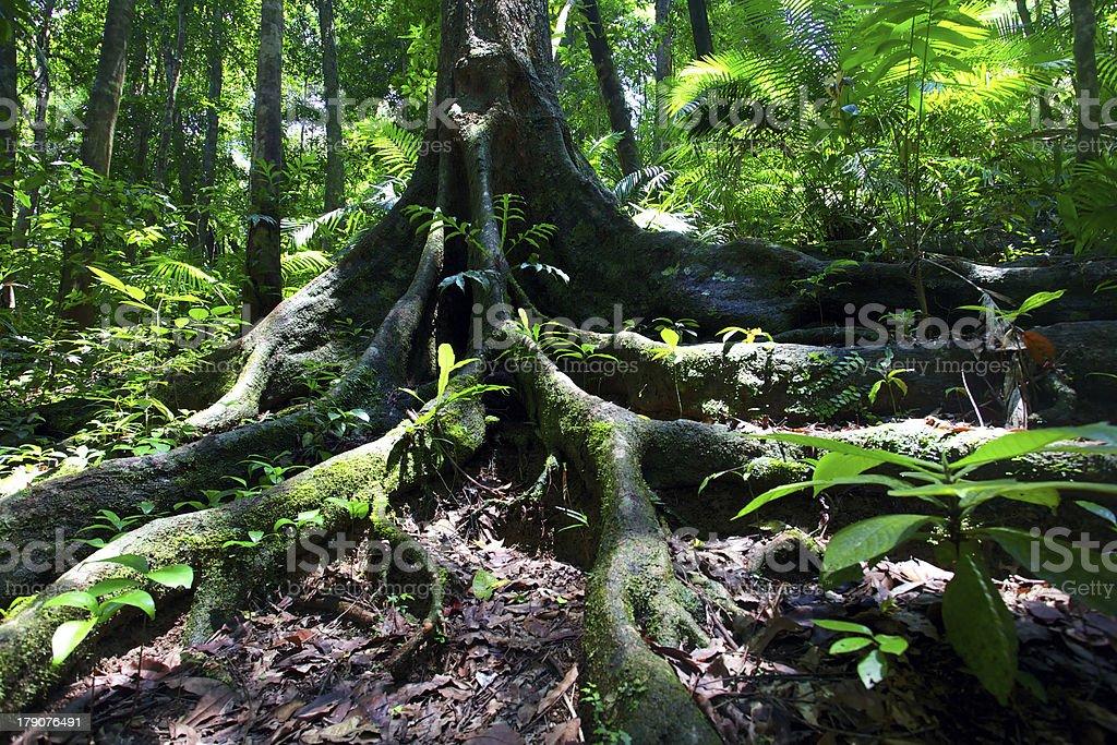 Rainforest tree roots at Mossman Gorge stock photo