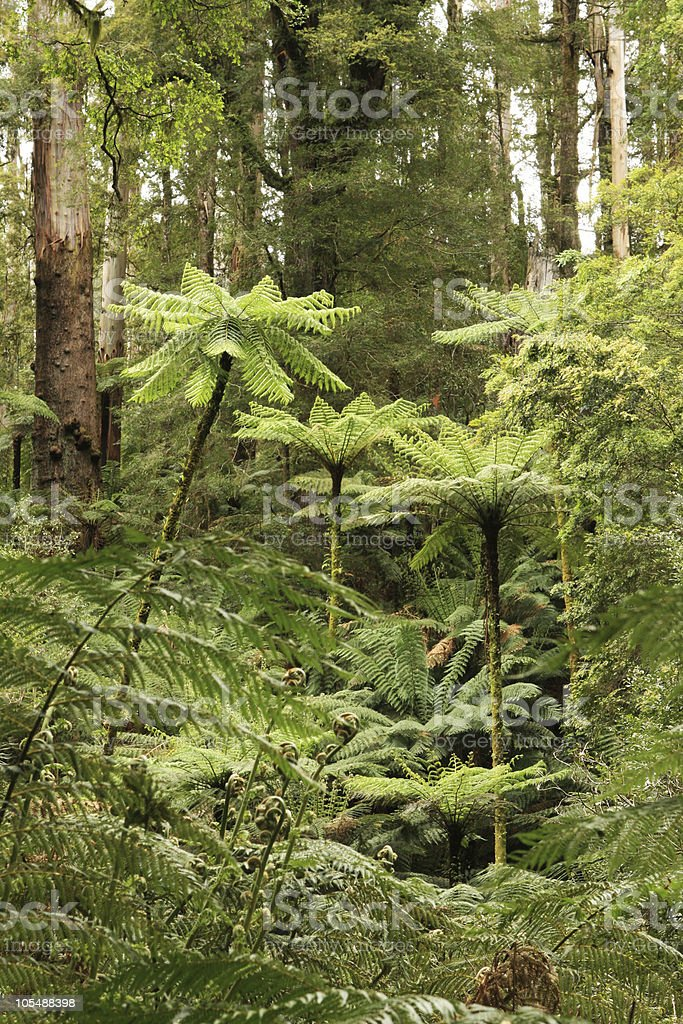 Rainforest Treeferns royalty-free stock photo
