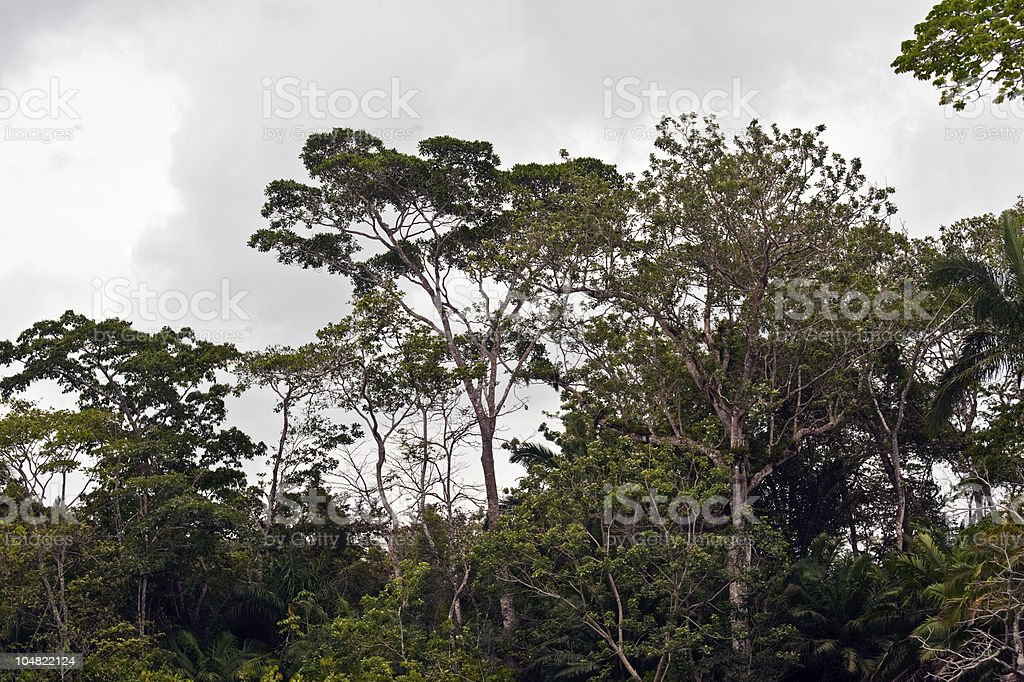 Rainforest trees in Panama royalty-free stock photo