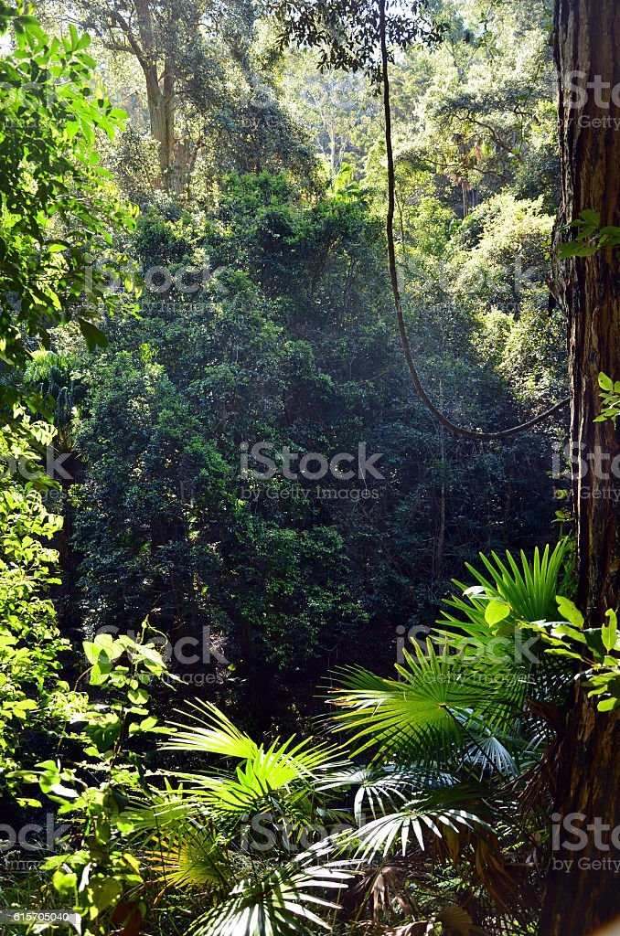 Rainforest understory of ferns, palms and vines stock photo