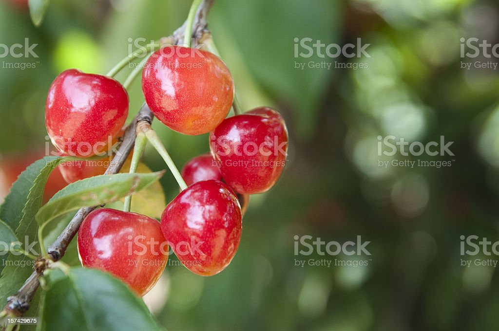 Rainier Cherry royalty-free stock photo