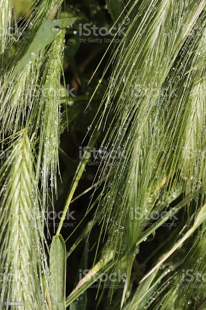 Wild barley 'grass darts' Hordeum species stock photo