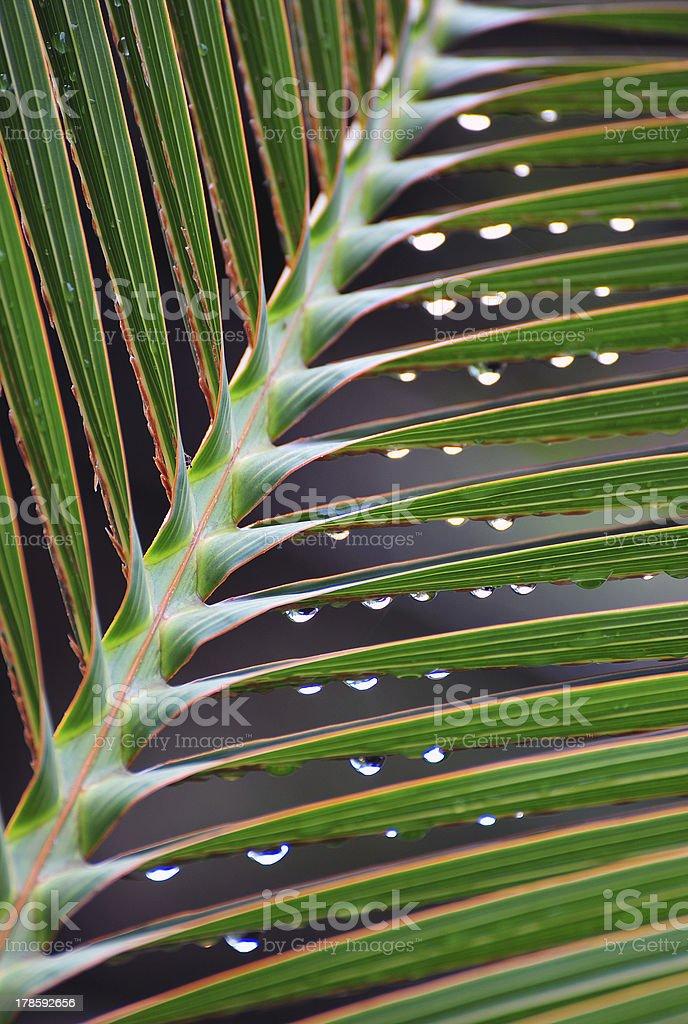 Rainswept palm leaf, Costa Rica royalty-free stock photo