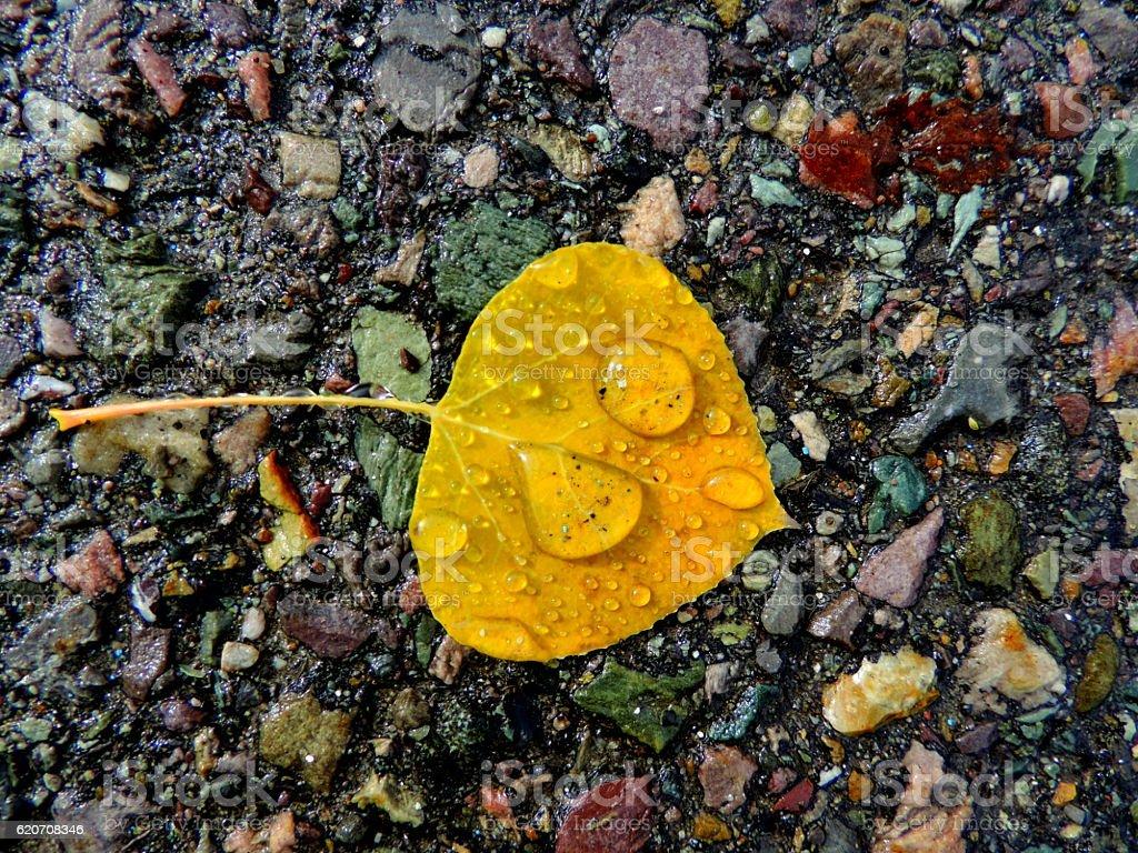 Rainy Autumn Cottonwood Leaf stock photo