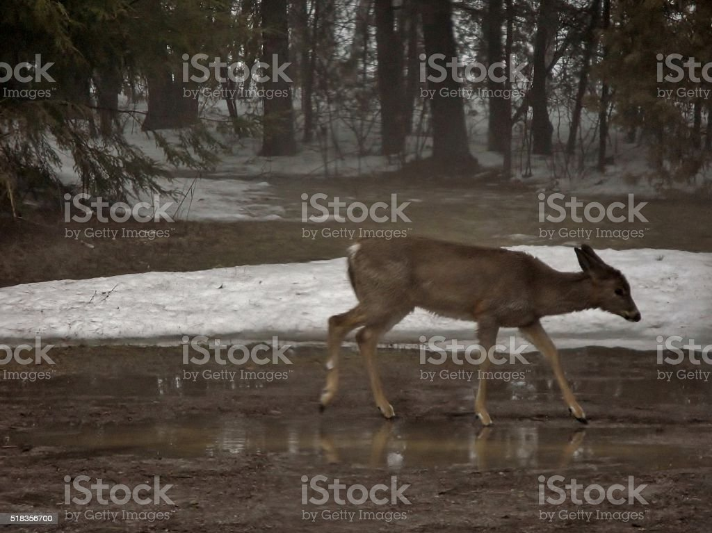 Rainy Day Doe stock photo