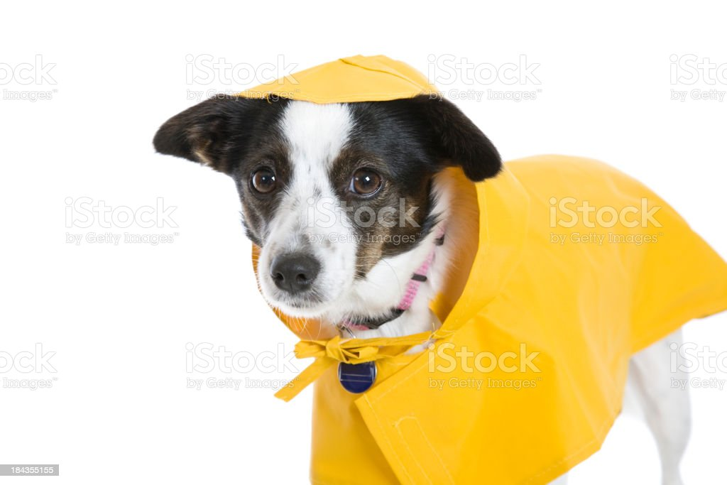 Rainy Day Dog stock photo
