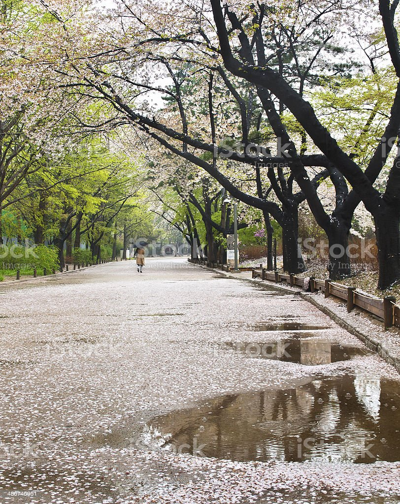 rainy day in spring blooming park in Seoul stock photo