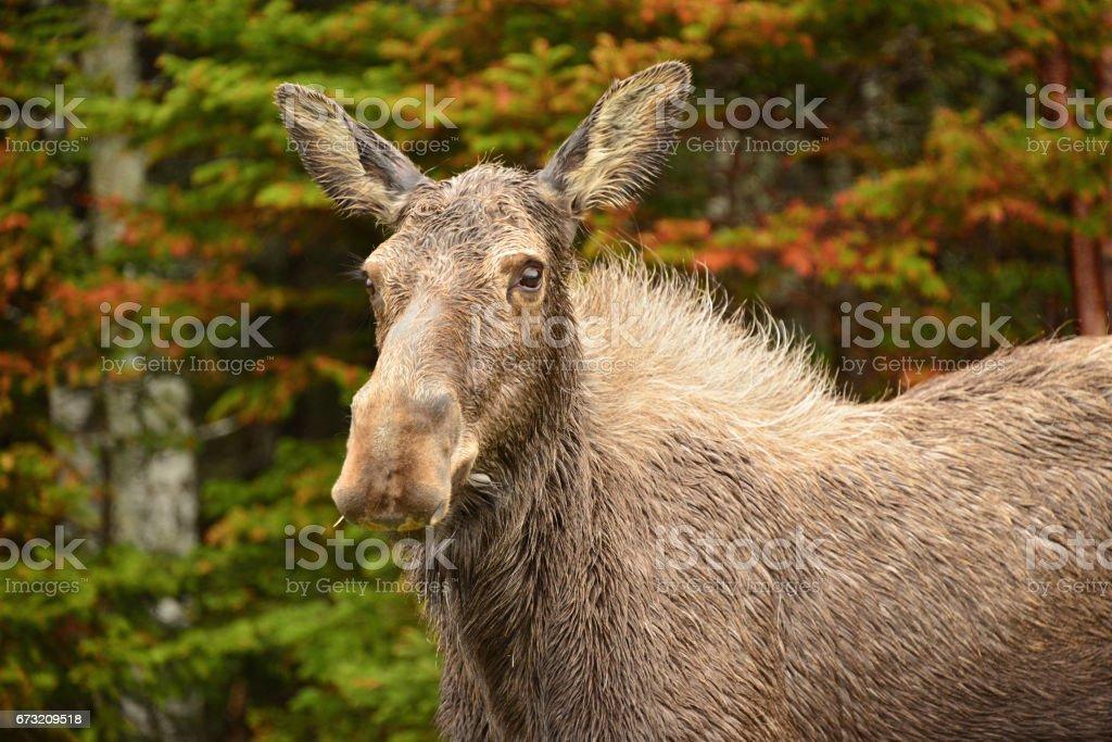 Rainy Day Moose stock photo