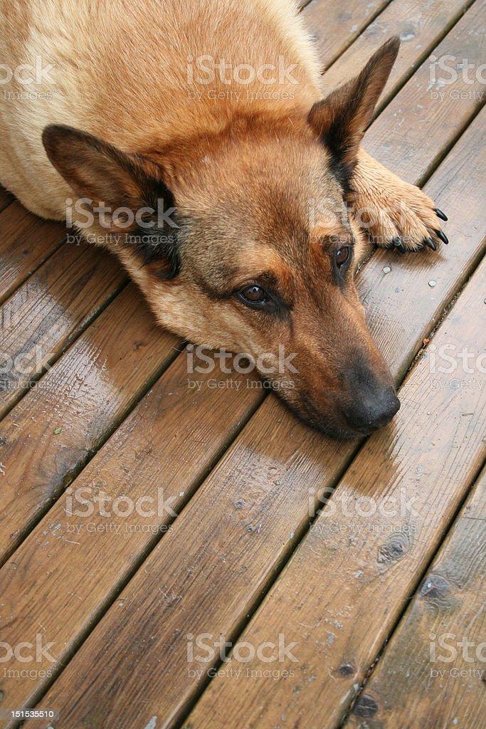 Rainy Dog Day Afternoon royalty-free stock photo
