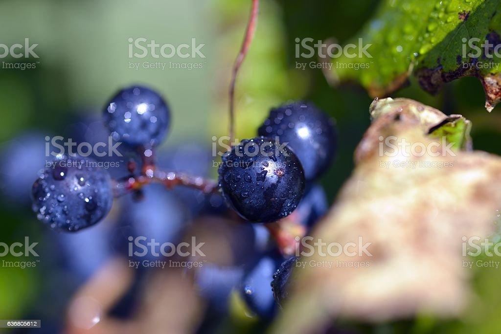 Raisin bleu - Blue grape stock photo