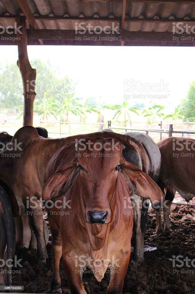 Raising beef cattle stock photo