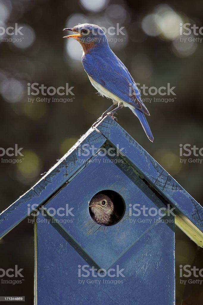 Raising Bluebirds royalty-free stock photo