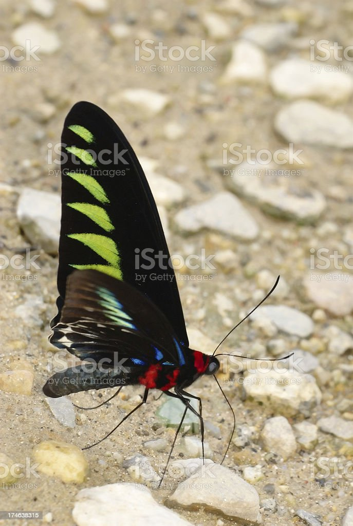 Raja Brooke's birdwing (Troides brookiana) in Malaysia royalty-free stock photo