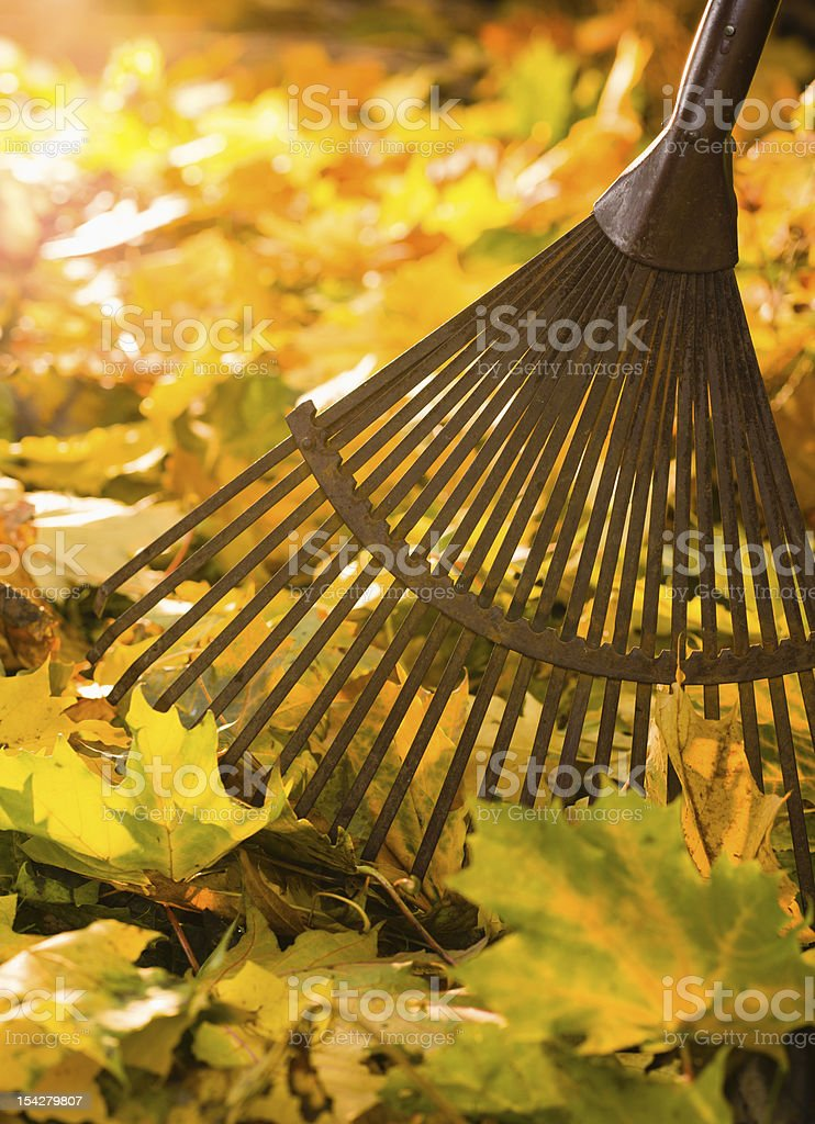 Rake among yellow, green, and orange leafs stock photo