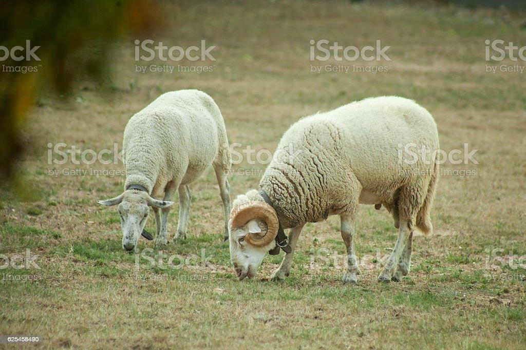 Ram and sheep grazing. stock photo