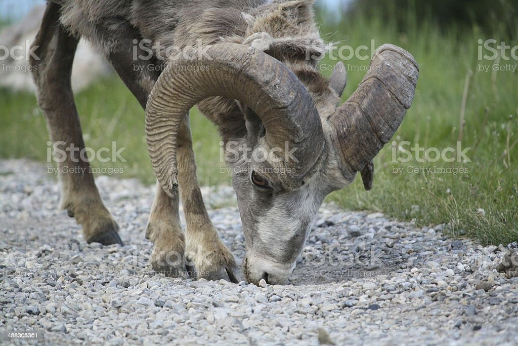Ram close-up royalty-free stock photo