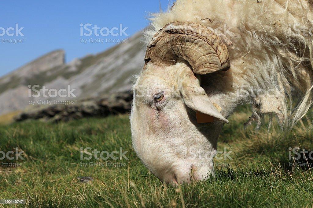 Ram grazing royalty-free stock photo