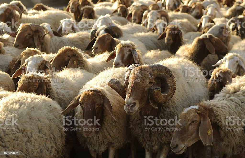 ram in a herd of sheep royalty-free stock photo