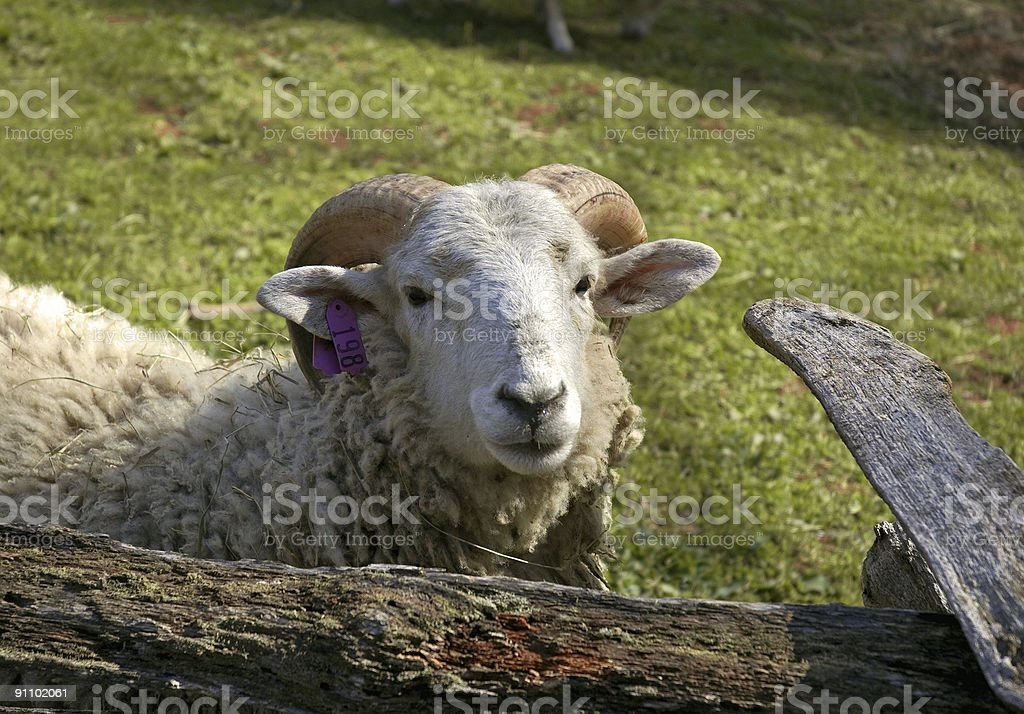 Ram In Your Face royalty-free stock photo