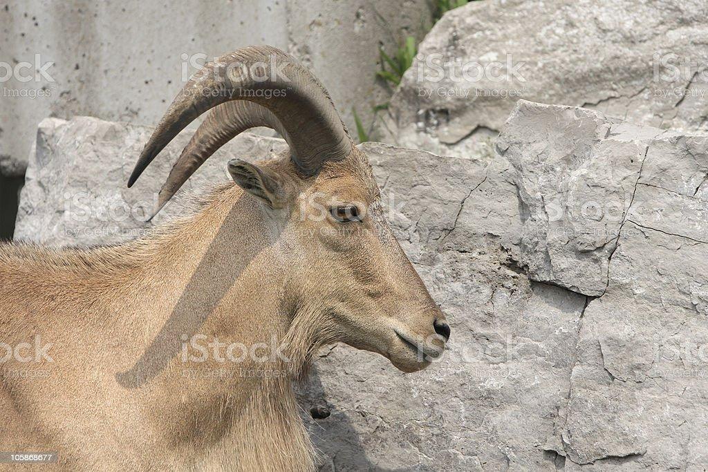 - Ram foto de stock royalty-free