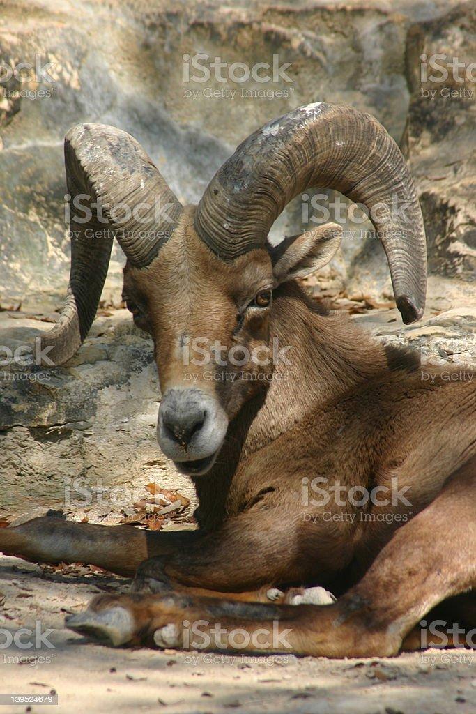 Ram royalty-free stock photo
