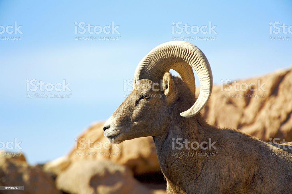 Ram foto stock royalty-free
