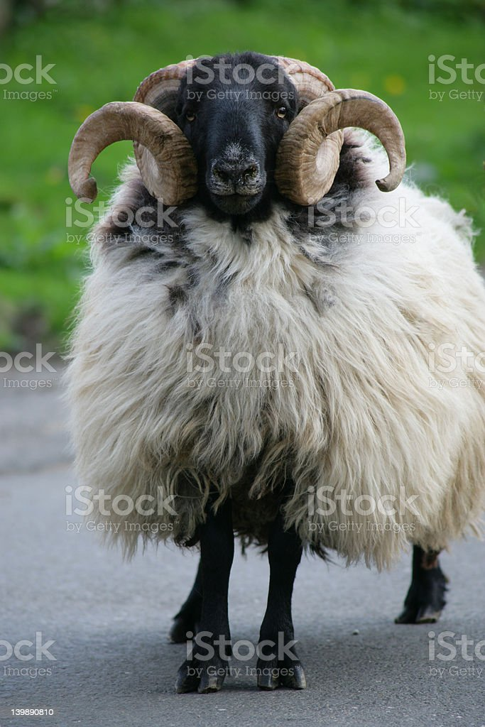 Ram refuse to move stock photo