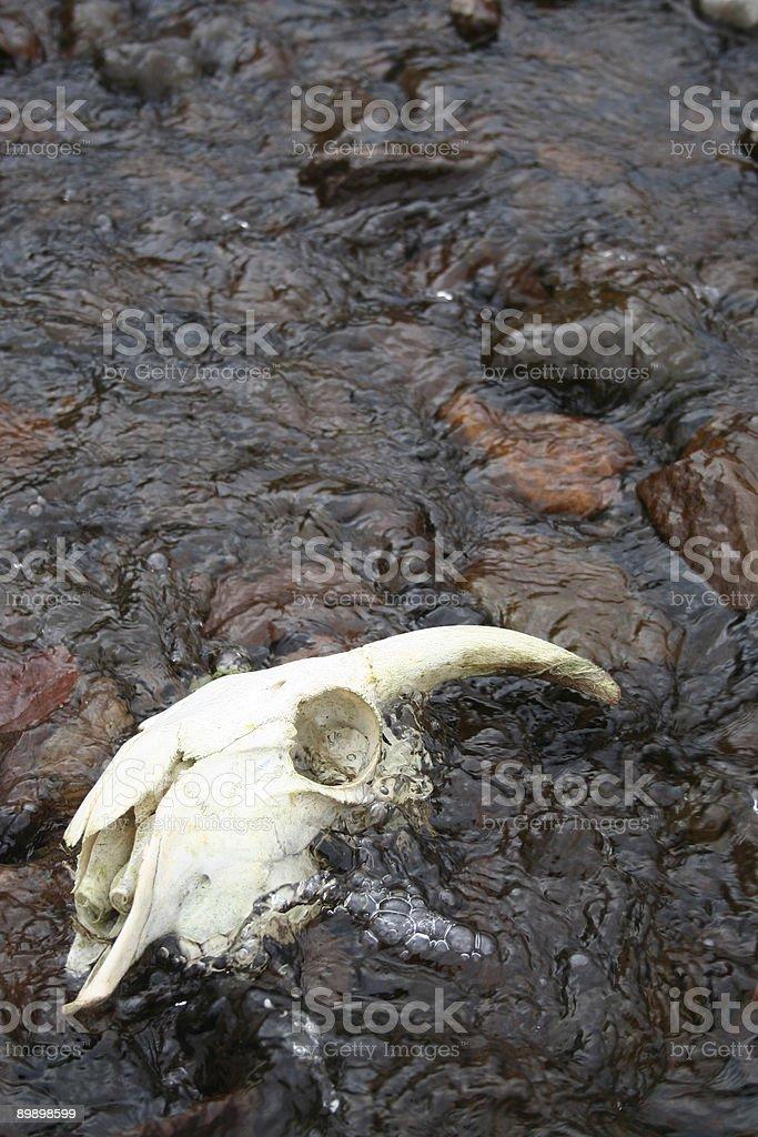 Ram skull in flowing water stock photo