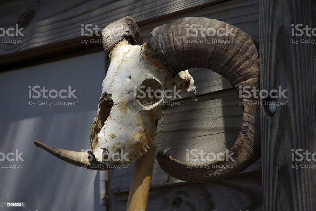 Ram Skull royalty-free stock photo