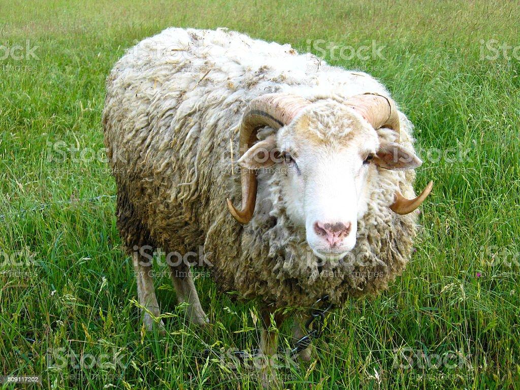 ram standing on the green grass stock photo
