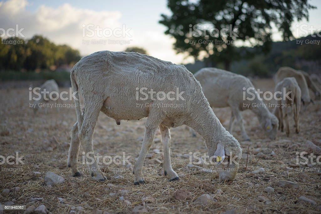 Ram, Turkey stock photo